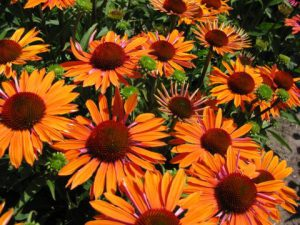 echinacea-purpurea-orange-passion